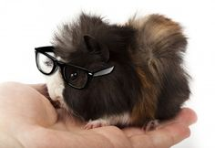 pregnant guinea pig pictures | March 2012 Archives - Guinea Pig Today