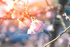 Wild Cherry Flower Blossom in Nature. Cherry Flower, Flower Blossom, Abstract Photos, Image Now, Royalty Free Stock Photos, Nature, Flowers, Plants, Pink