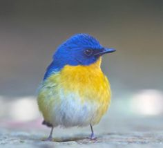 Tickell's blue flycatcher | CheckMySnaps photography contest entry of dilip gopalakrishna for World of Expressions 2012 | Snap taken @ bangalore outskirts
