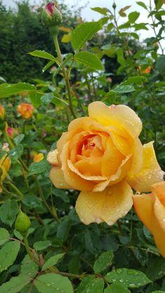 Rosa amarilla   Yellow rose - #flores #flowers