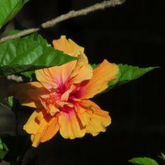 Hibiscus in @Hilary Knight garden