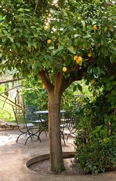 A large Lemon tree and metal garden furniture at the Botanical Gardens at Trauttmansdorff Castle, Merano, Italy