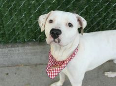 Manhattan Center LEGEND – A1083700 MALE, WHITE, PIT BULL MIX, 2 yrs STRAY – STRAY WAIT, NO HOLD Reason STRAY Intake condition UNSPECIFIE Intake Date 08/01/2016, From NY 10455, DueOut Date 08/04/2016,
