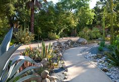 Succulent walk – cactus garden – Agave Americana – pebble mulch – decomposed granite walk – mounding rock wall separates vehicles and pedestrians