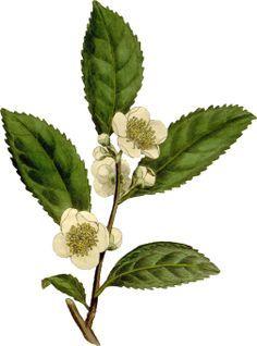 botanical illustration tea - Google Search