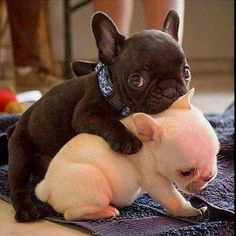Baby love ❤ www.frenchbulldogbreed.net