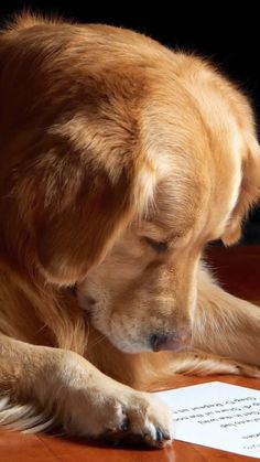 Astonishing Everything You Ever Wanted to Know about Golden Retrievers Ideas. Glorious Everything You Ever Wanted to Know about Golden Retrievers Ideas. Perros Golden Retriever, Chien Golden Retriever, Funny Golden Retrievers, Beautiful Dogs, Animals Beautiful, Cute Animals, Cute Dogs And Puppies, I Love Dogs, Doggies