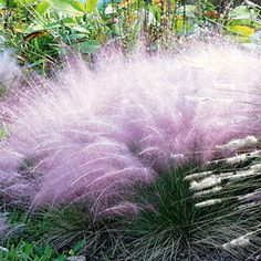 Pink Muhly Grass - if I ever move south, I'll grow this!! zones 6-10