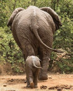 Save the Elephants! Cute Baby Animals, Animals And Pets, Funny Animals, Nature Animals, Asian Elephant, Elephant Love, Animal Tumblr, Save The Elephants, Baby Elephants
