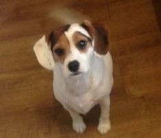 Lost: Tri Colour Jack Russell Terrier Cross Male In South West (SN2)