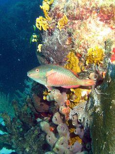 Stoplight Parrotfish off the coast of the Florida Keys. Brian Sevald Photography