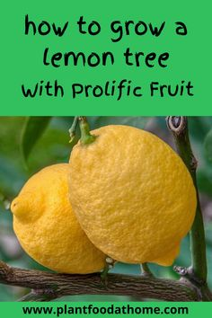 Dream of growing your own lemon tree at home? We take you through the steps to successfully plant a lemon tree for prolific lemons from your edible garden. Tropical Landscaping, Landscaping Tips, Inexpensive Landscaping, Citrus Garden, Edible Garden, Fruit Garden, Growing Herbs, Growing Tree, Gardens