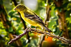 """""""Lesser Goldfinch Photograph by Robert Bales.""""                                      Press """"Visit"""" to see other images in this collection (from which I pinned all the images I wanted) by the wonderful photographer Robert Bales of hot air balloons, birds, flowers, mammals, natural scenery, et al."""