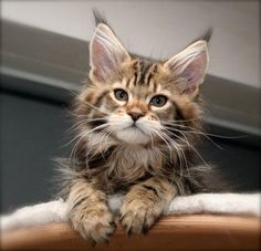Maine Coon Kitten | Cattery Senoja's | The Netherlands | www.kittentekoop.nl - Spoil your kitty at www.coolcattreehouse.com