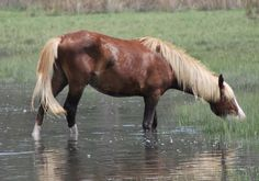 Great site....pictures of all Chincoteague stallions and most of their mares - by name!  Studying this for my next trip!!