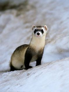The Black Footed Ferret is an endangered species