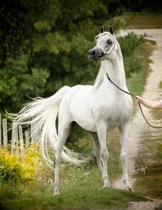 Pretty white, grey Arabian horse on an old dirt road lane with yellow flowers. Carnegie D (*Besson Carol x Calamity Fame V) 2003 Arabian Stallion © Wendy Peterson Arabian Horses For Sale, Beautiful Arabian Horses, Most Beautiful Horses, Majestic Horse, Pretty Horses, Beautiful Gorgeous, Beautiful Creatures, Animals Beautiful, Arabian Stallions