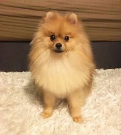 Good night everyone  #cobeethepom #readyforbed #fluffy #cute #pomeranian #pom #pompom #spitz #dog #pomstagram #petsoriginal #thedailypompom #lacyandpaws by cobeethepom