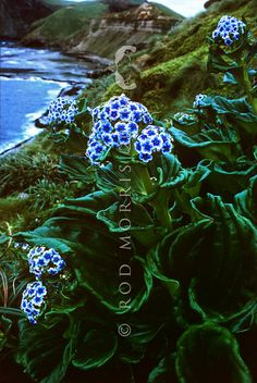 Chatham Island forget-me-not (Mysotidium hortense) wild flowering plants on coastal slopes above the boat harbour on Mangere Island, Chathams Group. Flowering Plants, Planting Flowers, Chatham Islands, Rare Plants, Plant Species, South America, Flower Power, Butterflies, Nature Photography