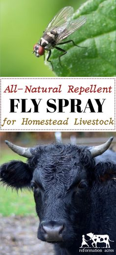 The BEST Homemade Fly Spray! Made with all-natural ingredients and a combination of essential oils that flies HATE- It really works! Homemade Fly Spray, Fly Control, Pest Control, Farm Lifestyle, Best Chicken Coop, Chickens Backyard, Way Of Life, Renewable Energy, Livestock
