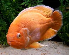 Albino Red Oscar – Astronotus Ocellatus | Tropical Fish Site