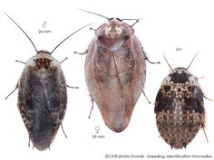 Gyna lurida Roaches, Kittens, Cats, Rodents, Exotic Pets, Reptiles, Insects, Creatures, Puppies