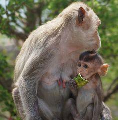 apinaäiti