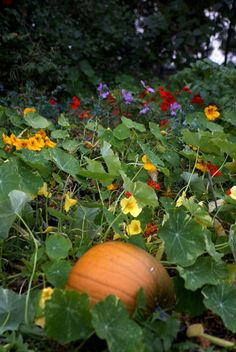Pumpkins surrounded by nasturtiums.  One way to make the pumpkin patch more attractive.