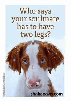...not to worry, four legs are perfect! #dogs #pets #BrittanySpaniels facebook.com/sodoggonefunny