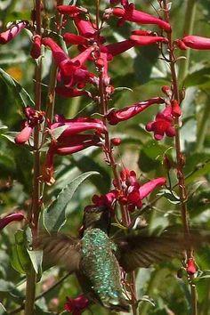Penstemon pseudospectabilis, Desert Penstemon, Arizona Penstemon, Rosy Desert Beardtongue with an Anna's Hummingbird