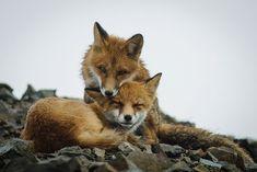 Un minero ruso obtiene estas fantásticas fotos de zorros durante sus descansos en el trabajo 12