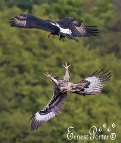 Black Eagles fledgling & adult (above) Different Types Of Eagles, Eagle Project, Black Eagle, Bird Wings, Birds Of Prey, Raptors, Falcons, Wildlife, African