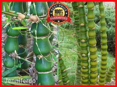 100Pcs Buddha's Belly Bamboo Bambusa Ventricosa, Golden Bamboo Seeds - RARE #GoldenBambooSeed