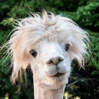 Having a Wild Hair Day - Squee daily at these cute animals and the absolute cutest animal pics and gifs ever known to man. Llama Pictures, Funny Animal Pictures, Cute Funny Animals, Animal Pics, Animal Sayings, Alpacas, Images Lama, Zoo Animals, Animals And Pets