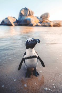 id you know penguins can be found in Cape Town, South Africa? Cute Baby Animals, Animals And Pets, Penguin Animals, Penguin Craft, Penguin Life, Beautiful Birds, Animals Beautiful, Boulder Beach, Cute Penguins