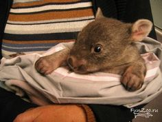 Baby wombat. It is a wombat. A huh? Cute lil thing though.