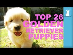 26 Reasons Golden Retriever Puppies Are The Best In 60 Seconds - Puppy Love - YouTube