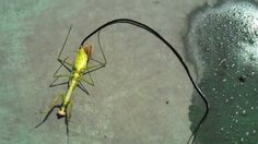 """""""This is a video showing a person killing a praying mantis virtually taken over by a huge parasite of the species Nematomorpha (horsehair worm). When the mantis dies, the parasite evacuates its host. These parasitic worms grow up to 100 cm in length, with extreme case specimens reaching 200 cm. The infection they infest their host with can 'program' the hosts brain and cause it to drown itself, returning the nematomorph parasite to water."""" / this horrifying thing via kenyatta"""