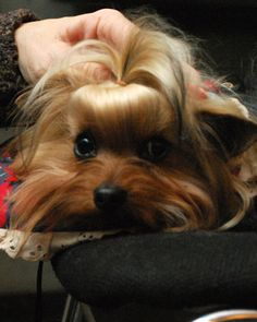 Photo: Kira Sexton/The American Kennel Club, Inc.                                                                     <<<                 >>>                                                                                                                                                        <                                                                       3 of 10                >                                                                  No. 3 Yorkshire Terrier