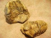 Calymene negative/positive Trilobite //Alnif Region, Morocco.