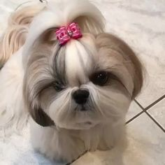 """1,284 Likes, 26 Comments - Shih Tzu (@_shih_tzu_lovers) on Instagram: """"Mommy says """"bubba you're just too cute to handle"""" From: @princess_mila_girl #shihtzu #shihtzus…"""""""