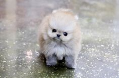 how much does a teacup pomeranian cost teacup husky pomeranian pomeranian husky teacup full 8076