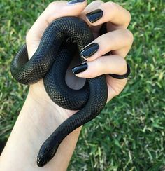 Mexican black kingsnake #mexicanblackkingsnake #mexicanblackking #kingsnake… More