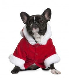 French bulldog in Santa coat, 3 years old, sitting in front of white background Stock Photo