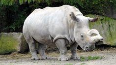 Ahora solamente quedan 4 rinocerontes blancos del norte en todo el mundo