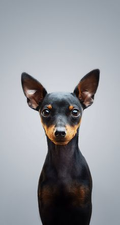 """Excellent """"pinscher puppies"""" info is readily available on our web pages. Read more and you will not be sorry you did. Mini Pinscher, Miniature Pinscher, Doberman Pinscher, Puppies And Kitties, Baby Puppies, Cute Puppies, Pet Dogs, Dog Cat, Pets"""