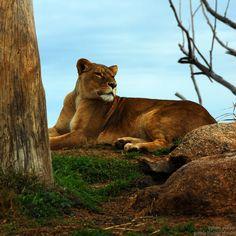Open Range Zoo - Werribee - Avustralya  29.07.2007