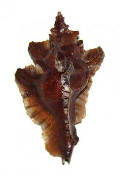Pterynotus undosus vokes