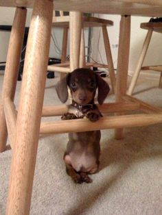Sweet little guy named Butter via Carla Williams and I Love Dachshunds