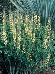 Baptisia Carolina Moonlight (Carolina Moonlight False Indigo) : We are thrilled to be able to offer this 2002 introduction from the late Rob Gardner. Baptisia 'Carolina Moonlight' was discovered by Rob as a rand...